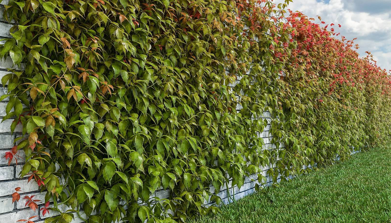 Девичий виноград пятилисточковый (мурорум)