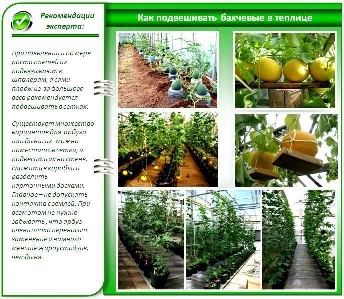 Особенности выращивания дыни в теплице из поликарбоната