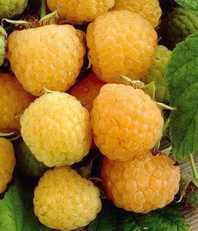 Желтая малина: посадка и уход, сорта, фото