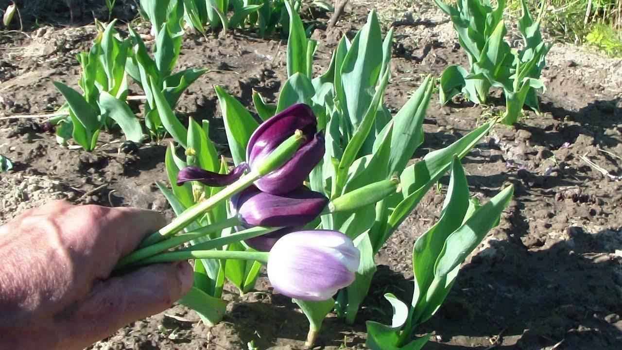 Что делать с тюльпанами после цветения – практическое руководство с фото