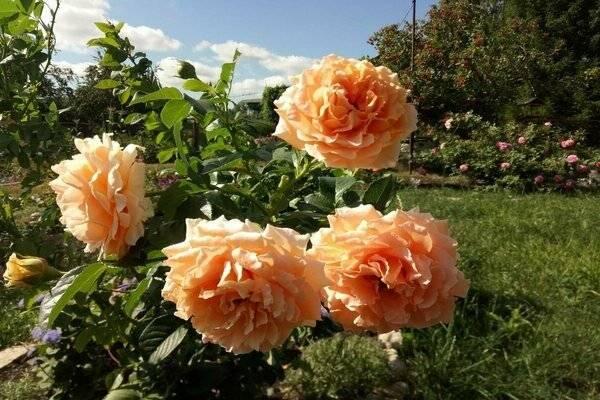 Плетистая роза полька: описание сорта, особенности выращивания и ухода