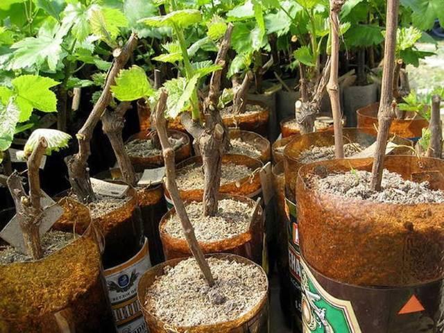 Проращивание черенков винограда весной в домашних условиях