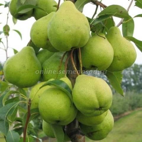 Сорт груши феерия, характеристика и выращивание