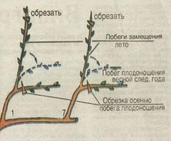 Всё об обрезке винограда от схем и сроков её проведения до подвязки куста