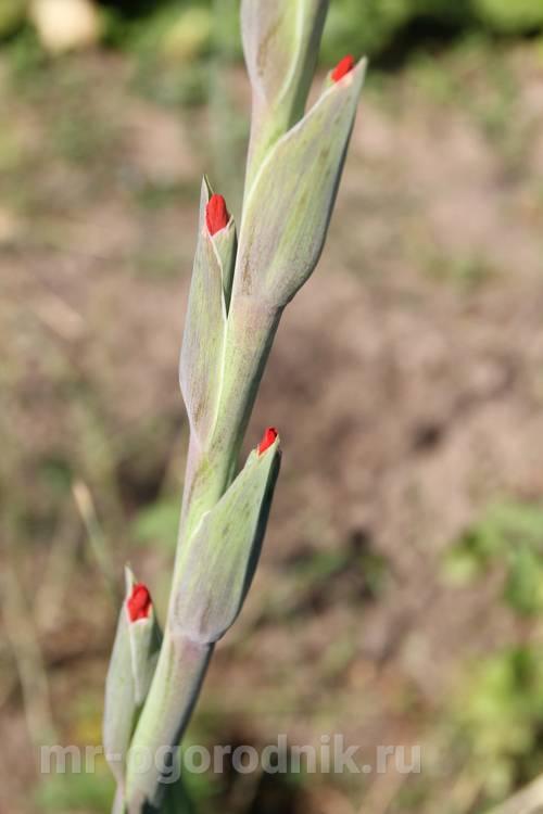 Удобрения для обильного цветения гладиолусов в открытом грунте
