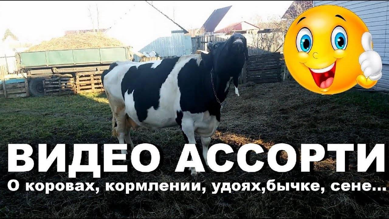 Кормление стельных сухостойных коров и нетелей