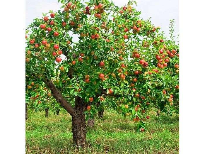 Светлые листья на яблоне — причины, методы их устранения