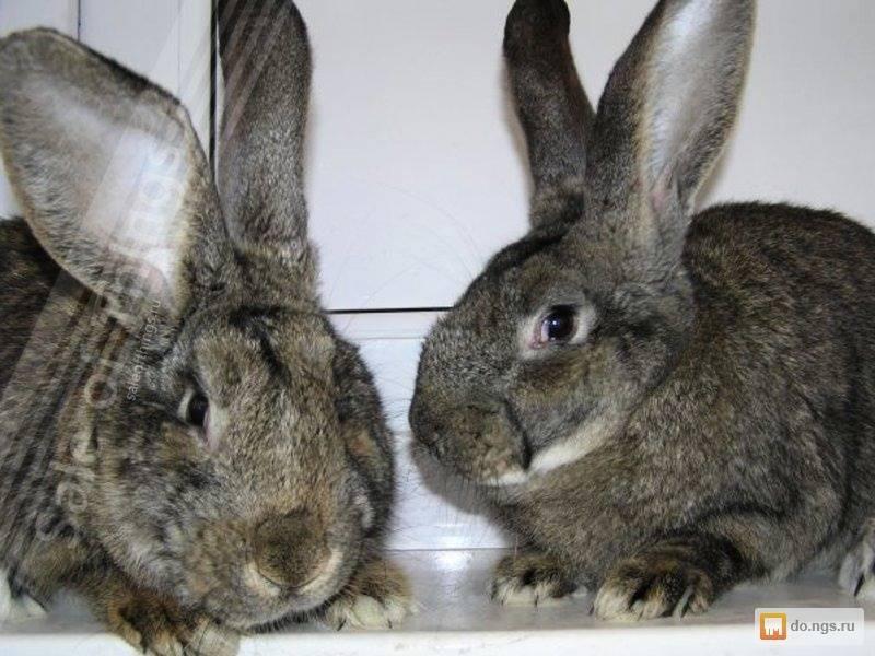 Какие породы кроликов существуют, лучшие виды мясных и меховых направлений