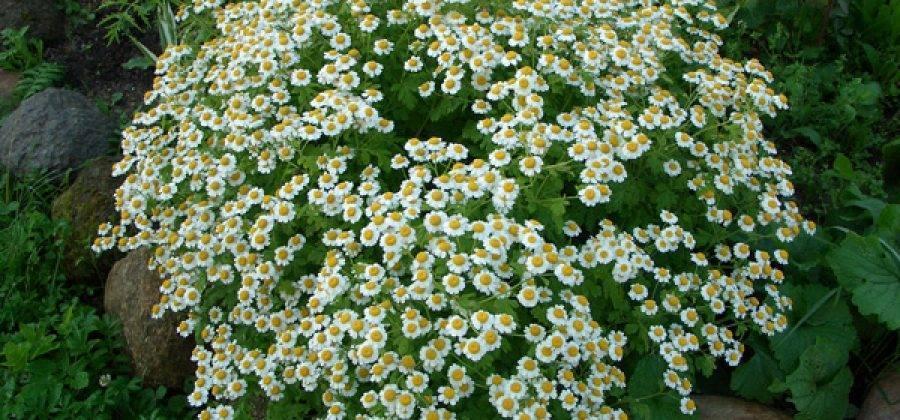 О ромашке мелкой садовой кустовой (название низкорослой ромашки, правила ухода)