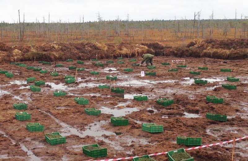 Агротехника выращивания садовой клюквы