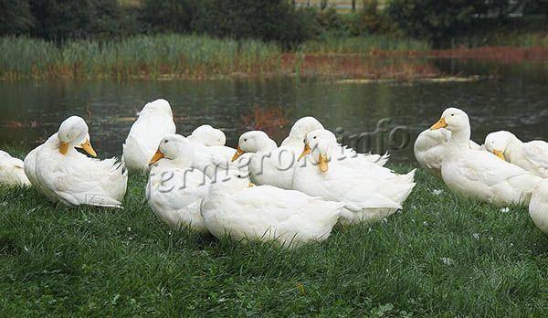 Черри-велли — птицеводство. разведение уток -> породы уток -> мясные породы уток