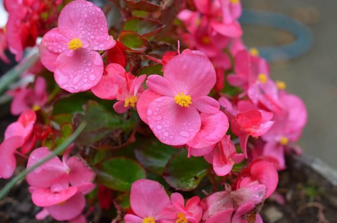 Как ухаживать за цветком бегония в домашних условиях :: инфониак