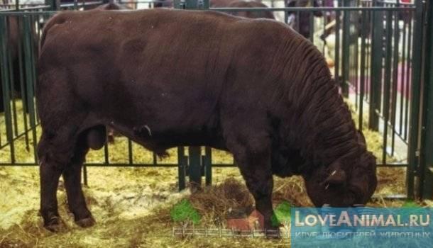 Комолая корова: описание и характеристика безрогой породы