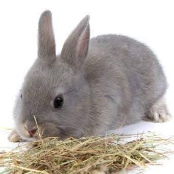 Как самому кастрировать кролика в домашних условиях?