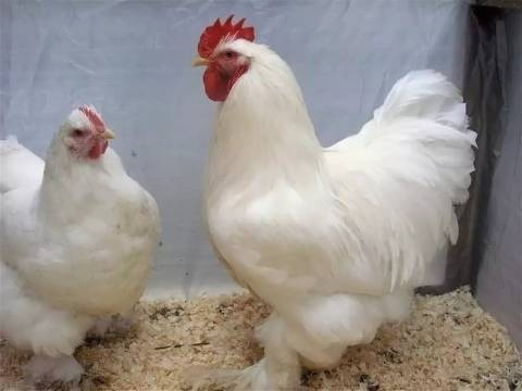 Московская белая порода кур: описание и характеристики, фото, особенности ухода и содержания