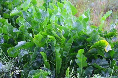 Выращиваем хрен. как вырастить хрен у себя на огороде, особенности растения.
