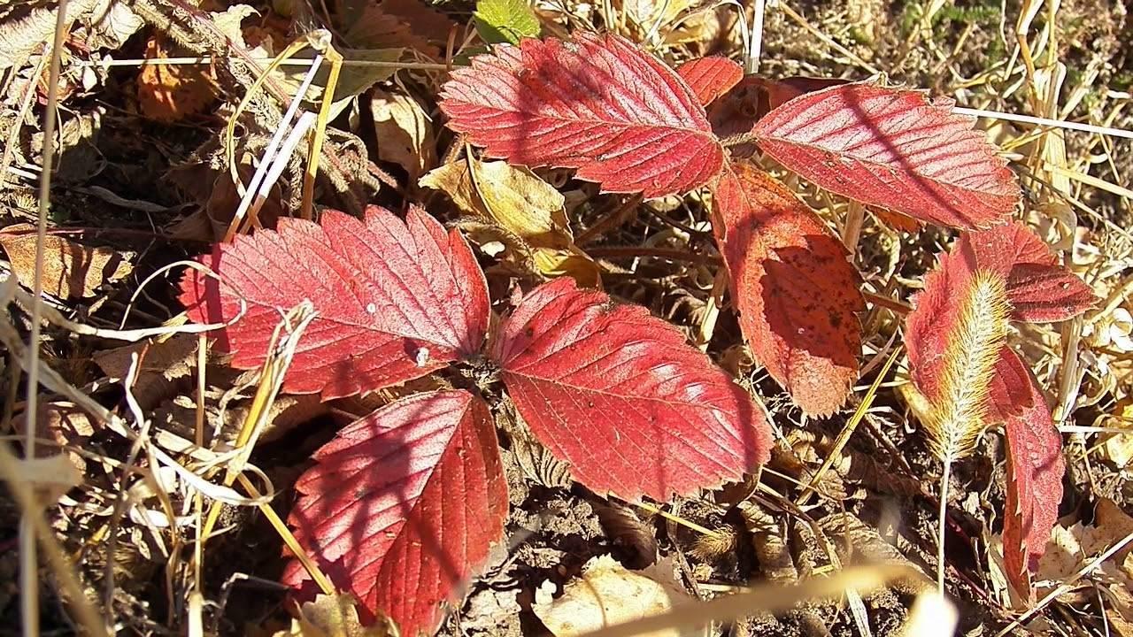 Красные листья на клубнике: что делать в первую очередь? основные причины и советы по устранению заболеваний клубники (95 фото)