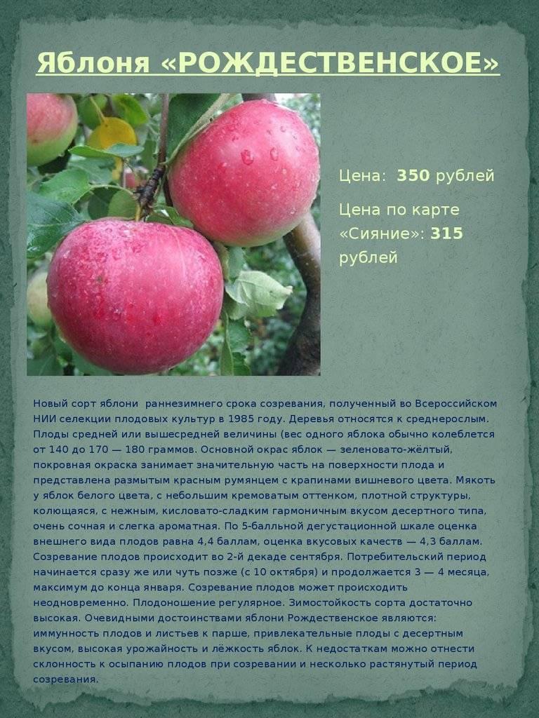 О яблоне Рождественское: описание сорта, характеристики, агротехника