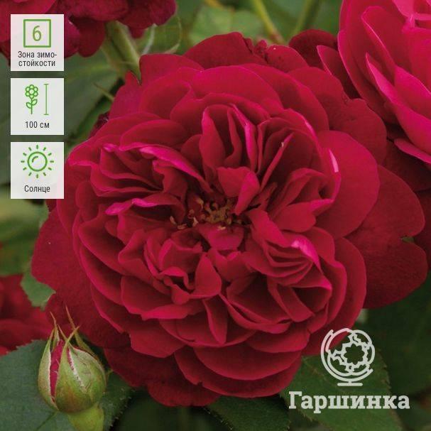 Розы дэвида остина – 5 заметных достоинств, характеристики сортов и выращивание