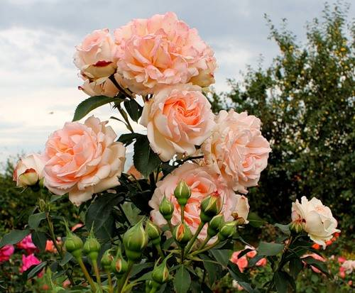 Розы ренессанс все сорта