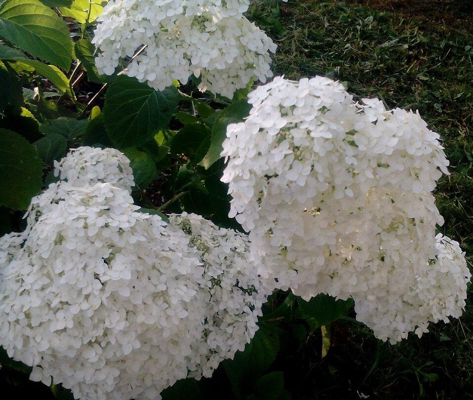 Как цветет гортензия? 26 фото в каком месяце она зацветает в саду? как долго длится период цветения? на какой год начинает цвести первый раз? почему гортензия цветет зеленым цветом?