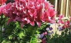 Лилии- выращивание и уход весной в открытом грунте