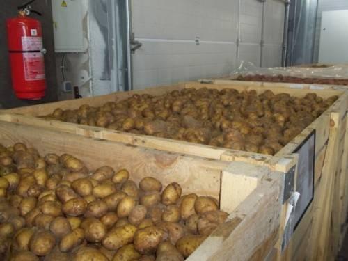 Хранение картофеля зимой: температура оптимальная для того, чтобы овощ долежал до весны на продажу, а также влажность, освещение и другие важные требования