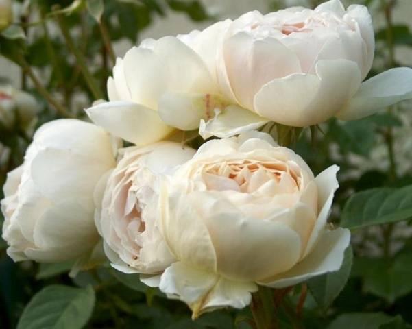Роза клэр остин: рассматриваем главное