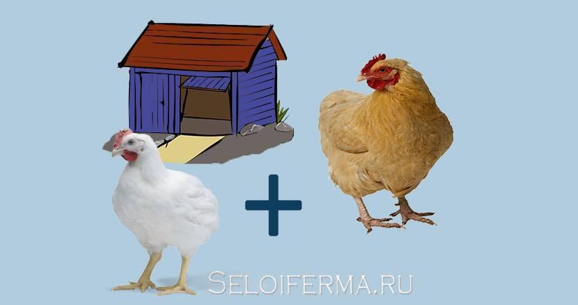 Как правильно выбрать кур-несушек и содержать их для продажи яиц?