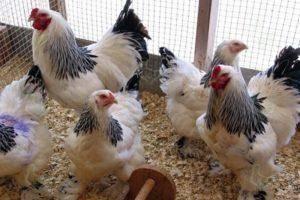 Кормление кур на даче. чем можно кормить кур и чем нельзя.
