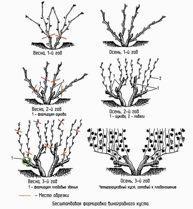 Этапы и особенности проведения обрезки винограда летом