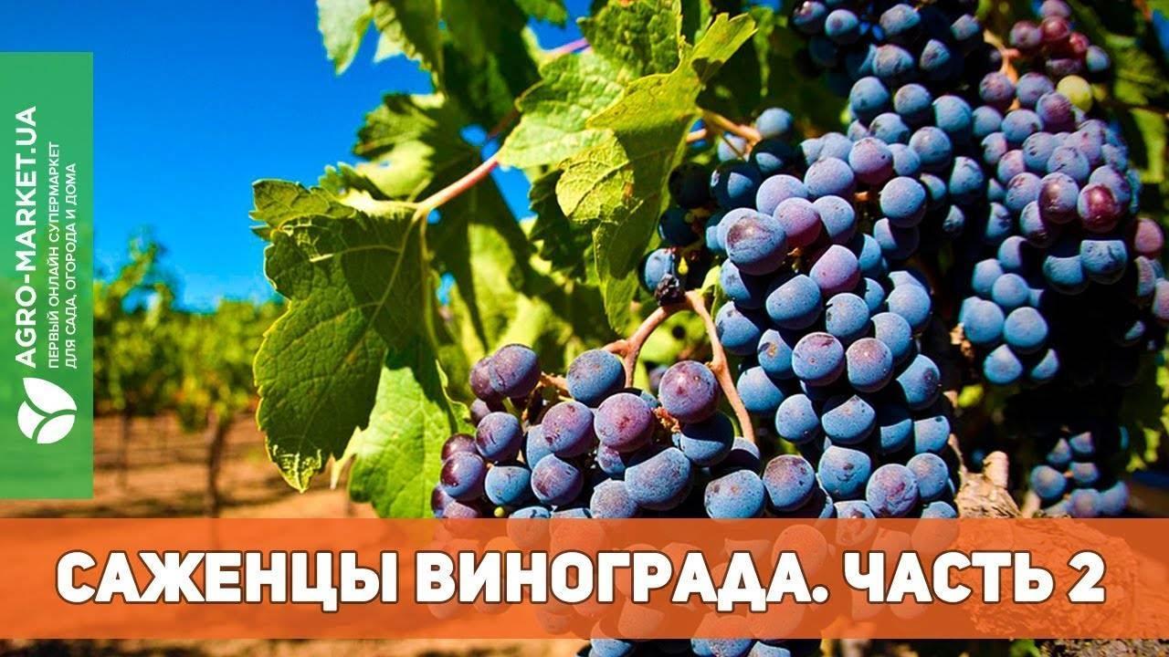 Виноград долгожданный: описание сорта, фото, отзывы