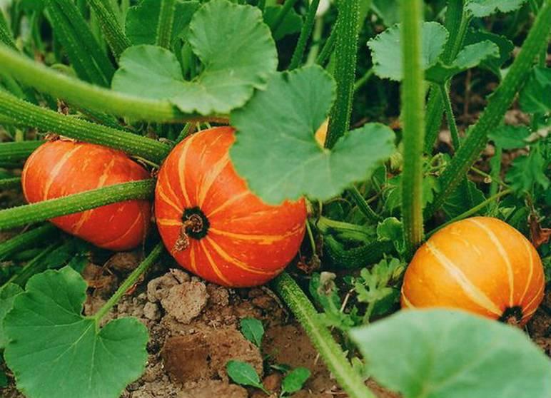 Как сажать тыкву в открытый грунт семенами или рассадой