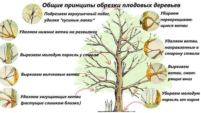 Как обрезать плодовые деревья – все о видах крон и их формировании в картинках
