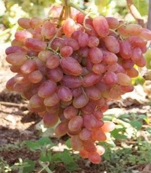 Сорт винограда преображение — отзывы. негативные, нейтральные и положительные отзывы
