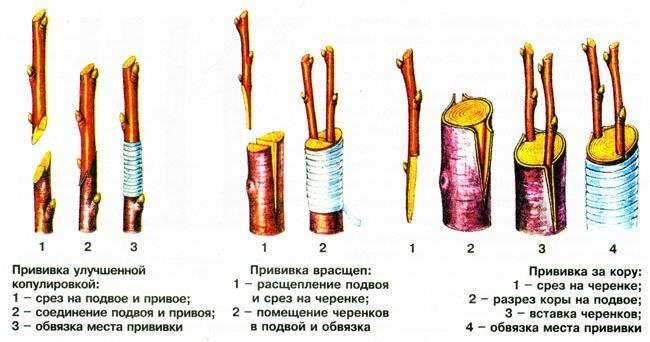 Прививка черешни весной и летом