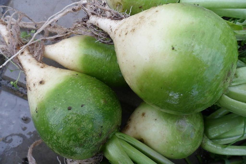 Редька китайская: описание сорта, выращивание, агротехника, советы