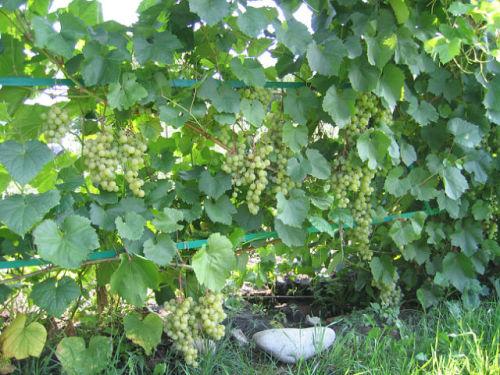 Морозостойкие сорта винограда для подмосковья и средней полосы россии