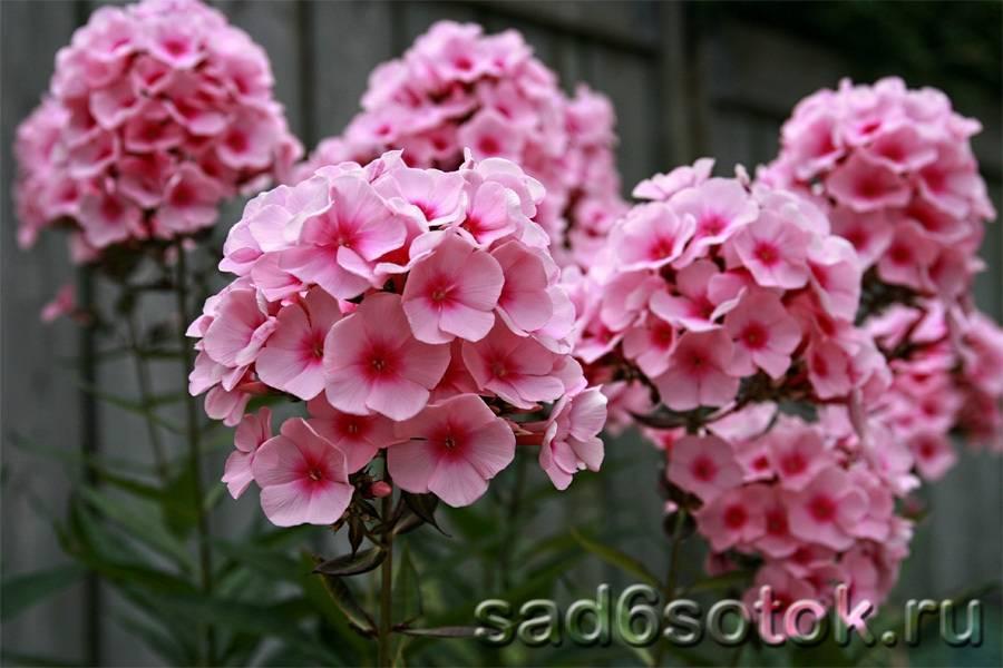Флоксы (75 фото): как быстро разрастается цветок? как выглядит в саду? какую почву они любят на клумбе?