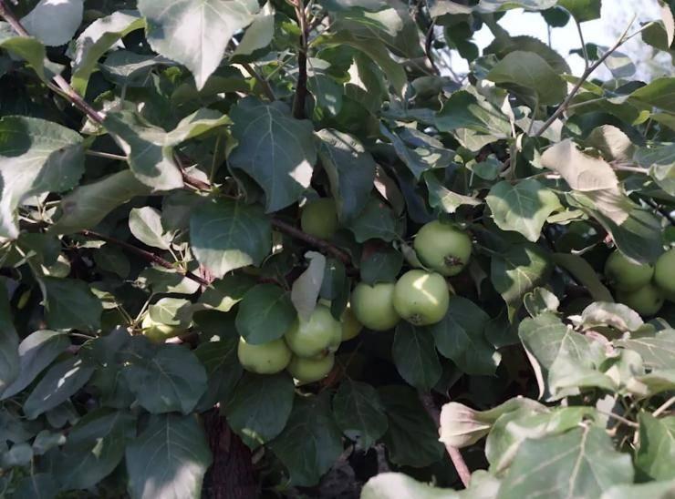 Яблоня не плодоносит. почему?