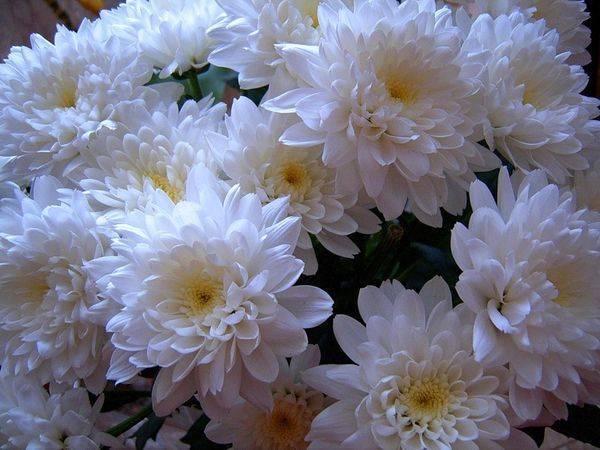 Как подольше сохранить хризантемы в вазе