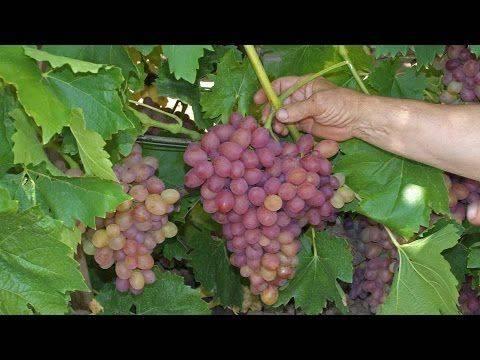 Описание винограда софия