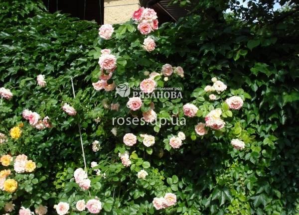 Плетистые розы: сорта и их описания в каталоге с названиями