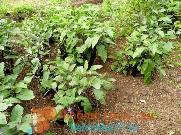 Соседи клубники на грядке и что лучше посадить после нее: полезные советы
