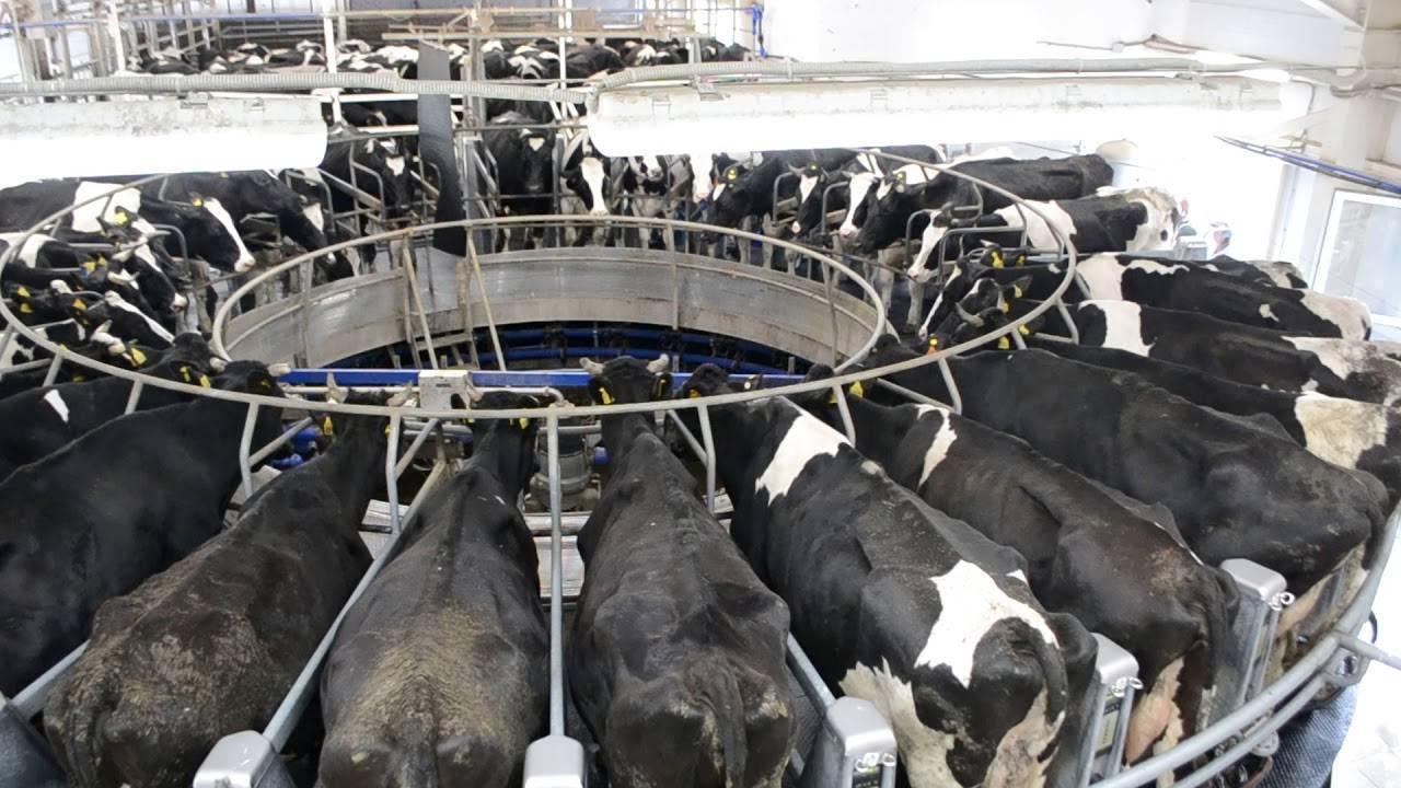 """Техника машинного доения - технология производства молока на животноводческих фермах оао """"каменское"""""""