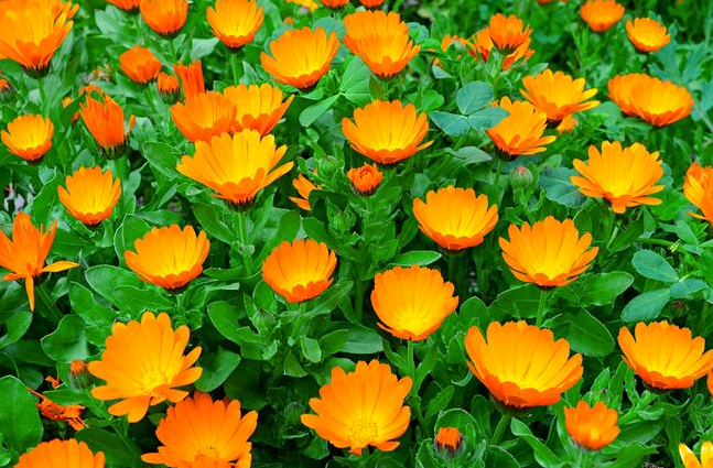 Цветы ноготки - посадка и уход в открытом грунте