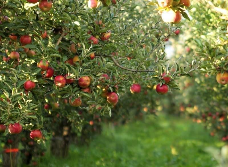 Способы борьбы с гусеницами на яблоне, как правильно и чем лучше обработать