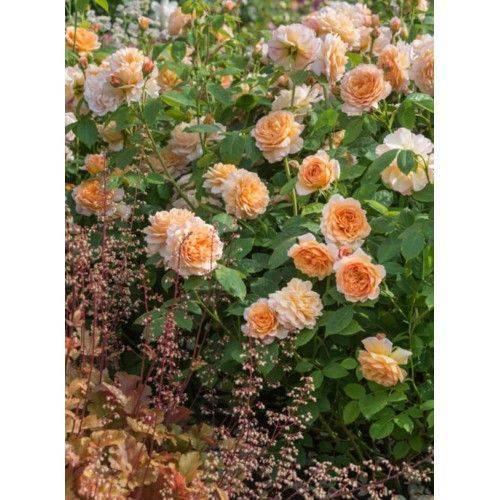 Выращивание морозостойкой розы сорта братья гримм: как посадить и ухаживать