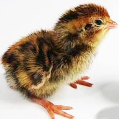 Уход за цыплятами: правильные условия содержания и питание птенцов