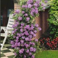 Плетистая роза индиголетта: посадка и уход